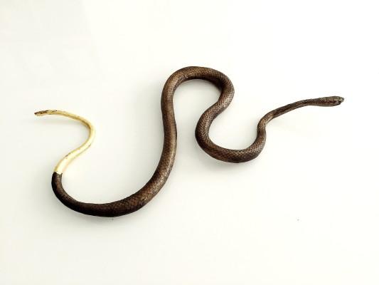 gold snake_IMG_6171